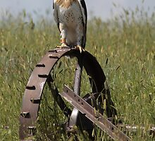 Fledging Ferruginous Hawk by Jillian Johnston
