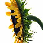 sunflower time in Kansas! by patticake