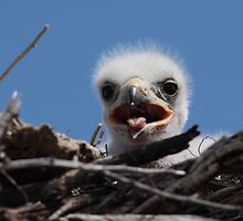 Nestling Ferruginous Hawk by Jillian Johnston