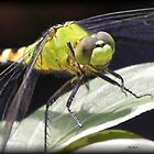 Dragonflies by Dennis Cheeseman