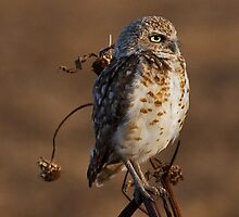 071809 Burrowing Owl by Marvin Collins