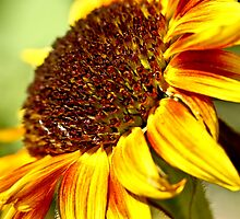 Sunflower by pixel-cafe .de