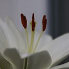 White Lily Macro by AnnDixon
