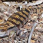 Blue Tongue Lizard by voir