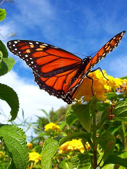 Lantana Butterfly by Penny Kittel