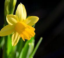 Daffodil by Theresa Elvin
