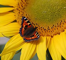 Small Tortoiseshell on a sunflower by Declan Carr
