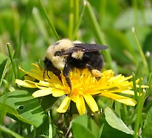 Bumble Bee by Brian Addison
