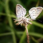A Pair Of Butterfly by Komang