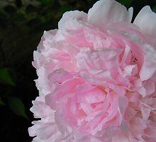 June Peony by MarianBendeth