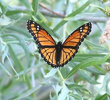 Viceroy Butterfly 2 by Forrest  Ray