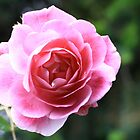 Pink Rose by AustraliaFund12