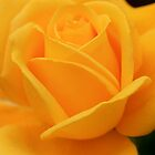 Yellow Rose by AustraliaFund12