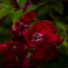Wild Red Rose? by Aggpup