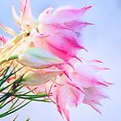 blushing bride protea by nadine henley