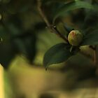 Budding - Mt Coot-tha Botanic Gardens by Matthew Brown