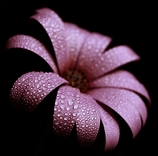 dusty pink by Ingz