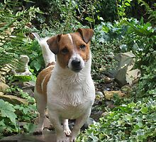 jack russell - on the hunt on the garden stream by alwaysbeautiful