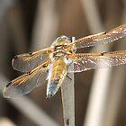 4-spot dragonfly by steveransome