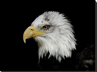 Eagle Portrait by Peter Barrett