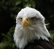 Eagle Portrait 2 by Peter Barrett