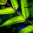 Green Leafs by mromero