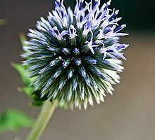 Echinops Thistle by James Birkbeck