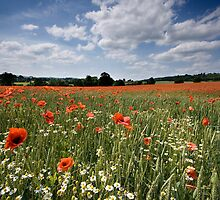 England : Red Poppies by Angie Latham