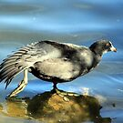 Coot aerobics by larry flewers