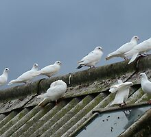 doves on rooftop, colour by purpleminx