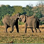 Sparring Bulls Chobe by ten2eight