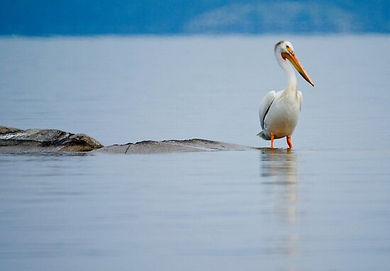 White Pelican by Jane Best