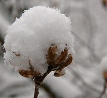 Winter Cotton by Virginia Kelser Jones