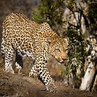 Leopard by Neil Messenger