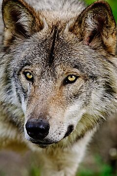 Timberwolf Portrait  by Michael Cummings