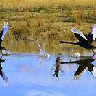 Reflec-swan's by Petehamilton