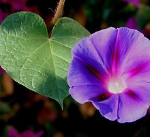 Beautiful Single Morning Glory Flower and Leaf by taiche