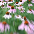 Coneflowers by mklue