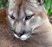 Close Up Of A Puma - (Puma concolor) by Robert Taylor