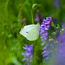 Small Cabbage White on Cow Vetch by Gerry Danen