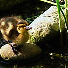 Baby Duckling by Kristen Glaser