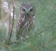 """Northern Saw Whet Owl"" by frogwithwings"