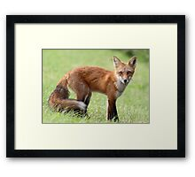 Red Fox From Cavendish Framed Print