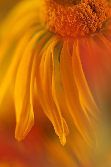 Sneezeweed Abstract by Steve  Taylor