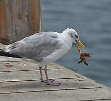 Gull with Starfish  by Shelby  Stalnaker Bortone