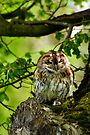 Tawny Owl (Strix aluco) in woodland  by buttonpresser