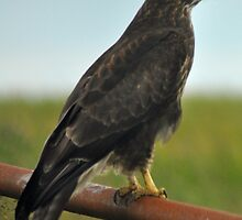 Buzzard by Rupert Connor