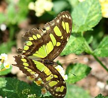 Beautiful Butterfly in a Garden  by Missy Yoder