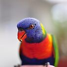 Lorikeet by petejsmith