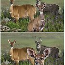 MOUNTAIN NYALA Tragelaphus buxtoni ( NOT  PHOTOGRAPHS         ) PLEASE READ BLURB by DilettantO
